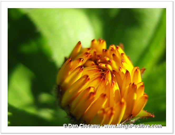 modern art yellow calendula flower bud with green background
