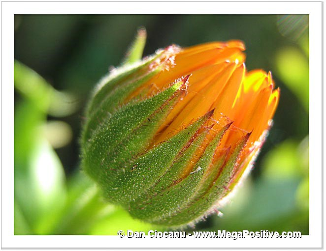 calendula bud macro hith positive energy photo print