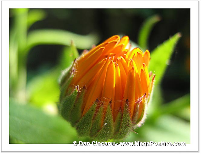 calendula bud high positive energy photo macro print