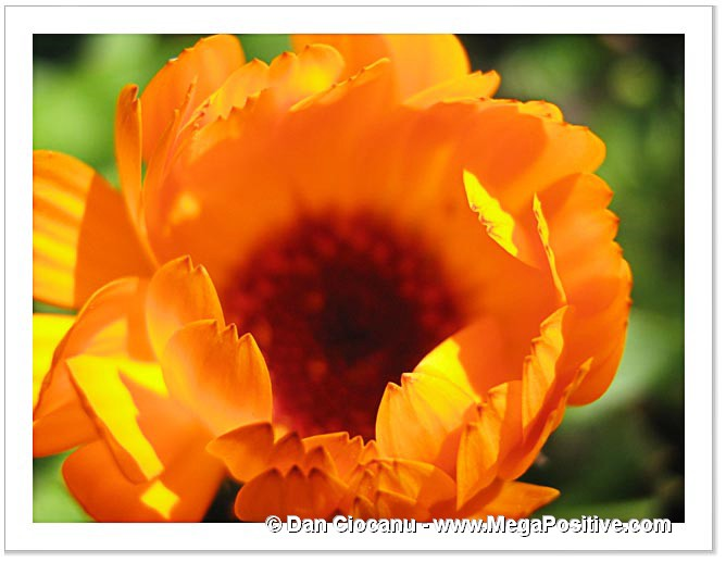 calendula flower orange macro high positive enrgy photo