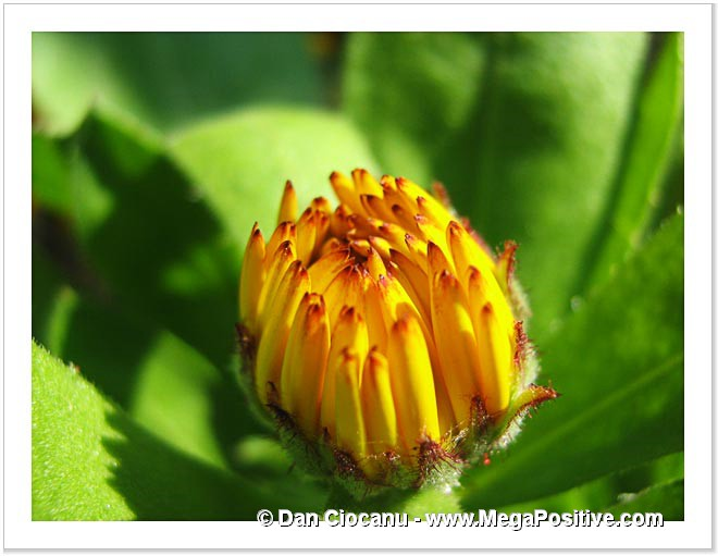 calendula flower bud yellow macro photo print