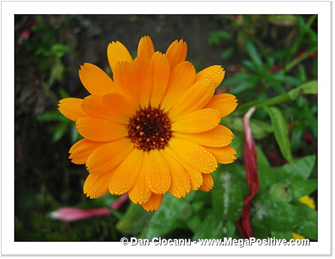 beautiful calendula flower with hoarfrost water drops macro canvas
