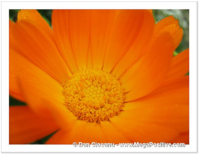 beautiful calendula flower macro abstract art photo print