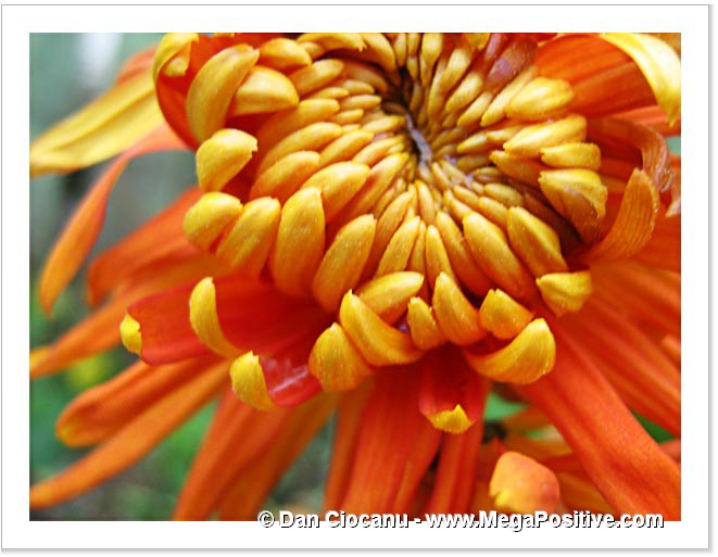 abstract art chrysanthemum beautiful flower orange photo canvas