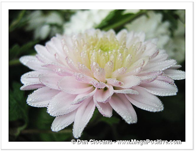 chrysanthemum flower white-pink macro abstract art canvas