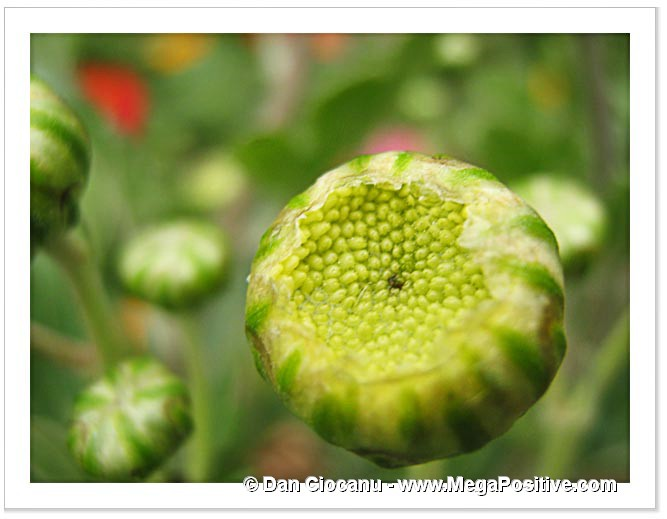 dahlia buds abstract art photo macro canvas print