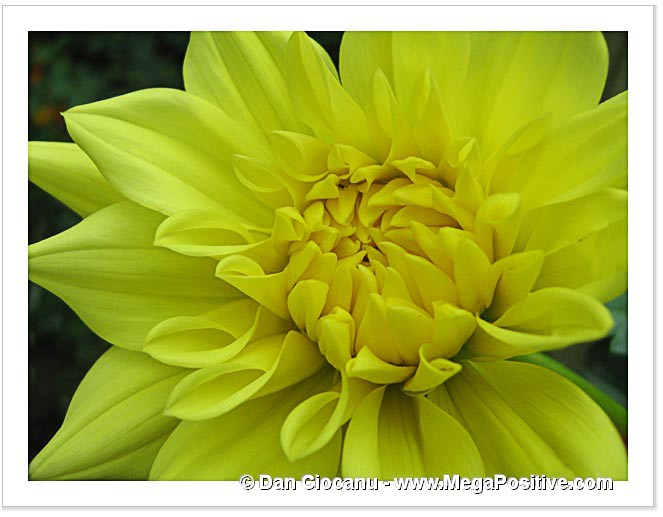 dahlia flower yellow abstract art photo macro canvas