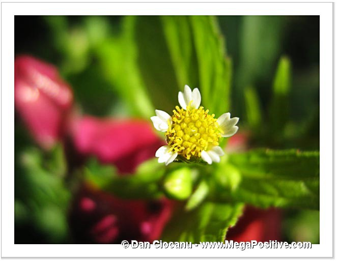 small-tiny daisy flower macro photo print green art background