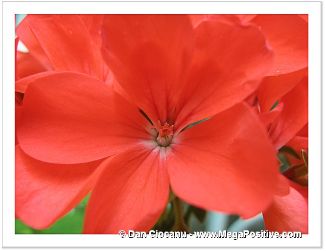 red geranium pelargonium macro photo print