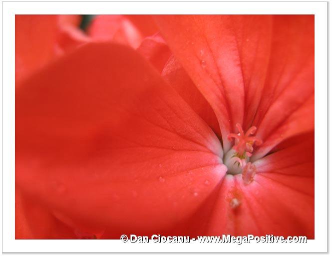 geranium pelargonium red macro photo abstract canvas