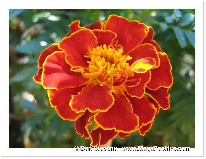 marigold of intense orange with yellow middle photo canvas