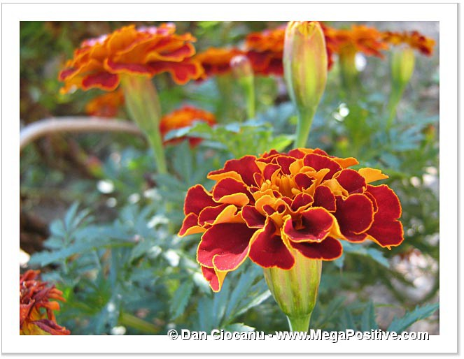 carmine with orange marigold photo canvas