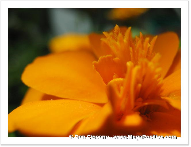 marigold macro photo abstract canvas calm energy