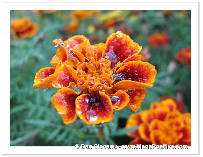 marigold full of water drops macro photo canvas