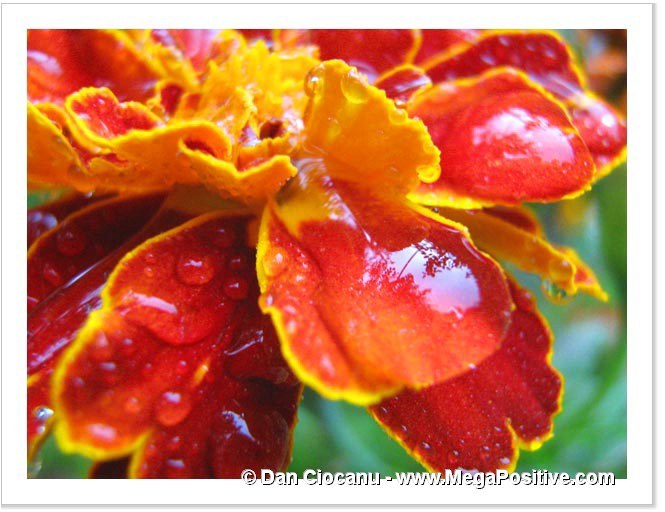 vermilion red marigold flower with water drops modern art print