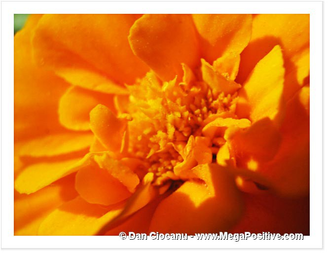 marigold of yellow organge color macro photo print