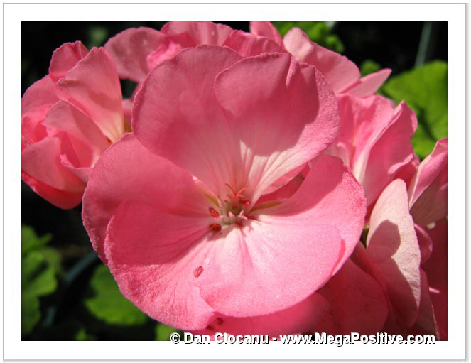 pelargonium of rose color for macro photo printing and canvas