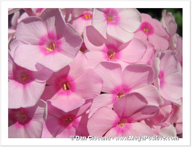 phlox pink flowers macro photo canvas