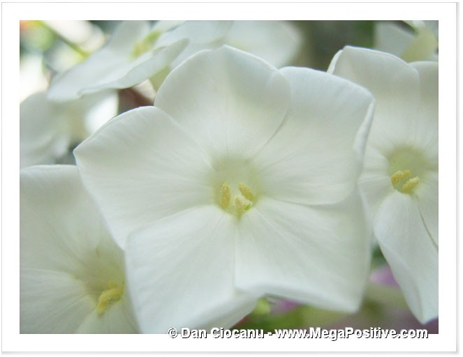 white phlox verbena macro photo canvas