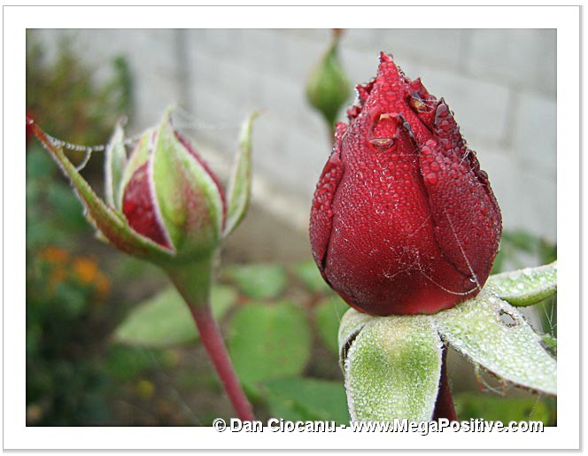 rose bud hoarfrost drops spider nets abstract