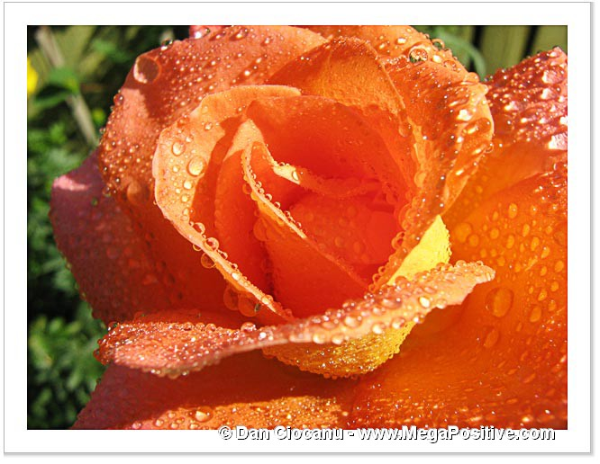 beautiful orange rose with water drops positive energy photo