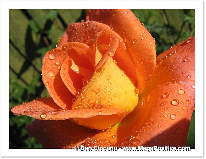 rose flower with water drops high energy positive photo print