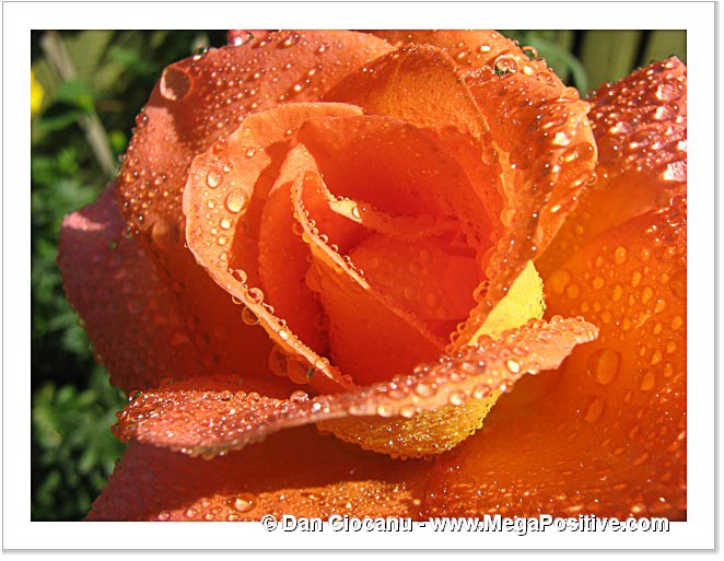rose flower with water drops sunny positive energy canvas
