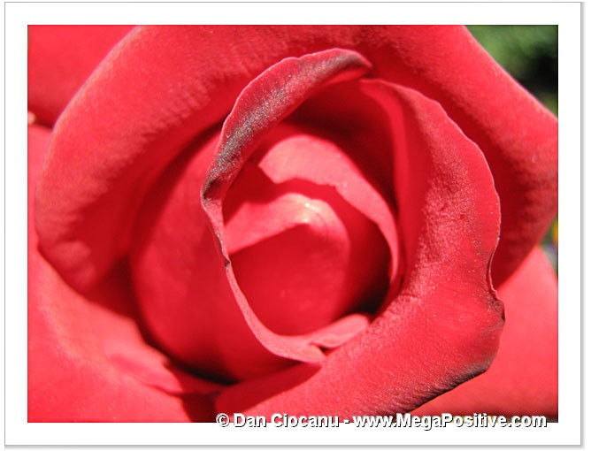 rose red rich macro abstract art photo canvas