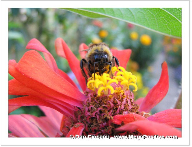 zinnia flower with a bumblebee macro photo