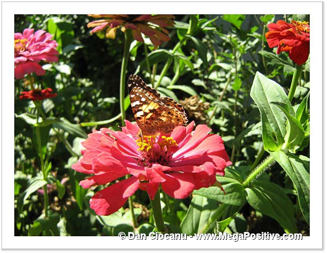 zinnia butterfly high energy canvas